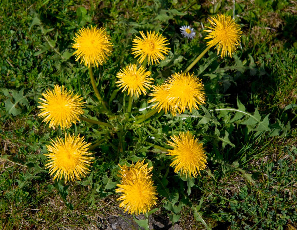 Dandelions: Free and Available