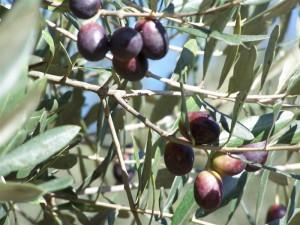 olive-medium-765591