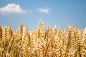 Wheat: public enemy number one, or the basis of modern civilisation? (Photo: StockXchng)